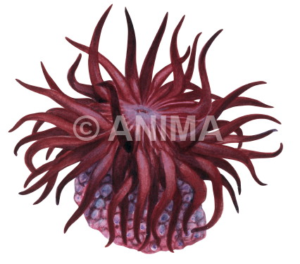 Anemone,Swimming Phylyctenanthus australis