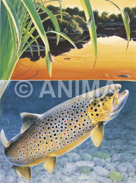Truite Couche de soleil/Brown Trout Sunset Rise