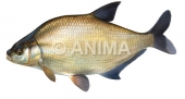 Breme2/Bream Abramis brama