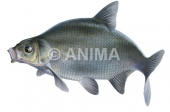 Breme1/Bream Abramis brama