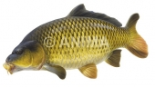 Carpe /Carp,Common1 Cyprinus carpio