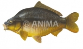 Carpe cuir/Carp,Leather Cyprinus carpio