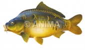 Carpe miroir/Carp,Mirror Cyprinus carpio