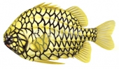 Australian Pineapplefish Cleidopus gloriamaris