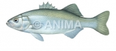 Bar 2/Sea Bass Dicentrarchus labrax