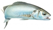 Bar 3/Sea Bass Dicentrarchus labrax