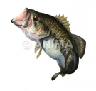 Black bass 2/Largemouth Bass Micropterus salmoides