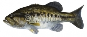 Black bass 1/Largemouth Bass Micropterus salmoides