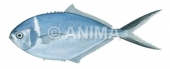 Steel Pompano Trachinotus stilbe