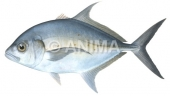 Thicklip Trevally Carangoides orthogrammus