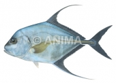 Threadfin Trevally Carangoides otrynter