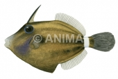 Spectacled Leatherjacket Cantherhines fronticinctus