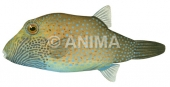 Ambon Toby Canthigaster amboinensis