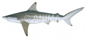 Blacktip Shark,Common1 Carcharhinus limbatus