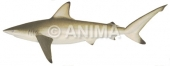 Blacktip Shark,Common2 Carcharhinus limbatus