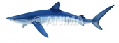 Requin peau bleue/Blue Shark1 Prionace glauca