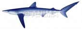 Blue Shark2 Prionace glauca