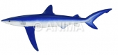 Blue Shark3 Prionace glauca