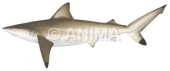 Graceful Shark Carcharhinus amblyrhynchoides