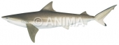 Nervous Shark Carcharhinus cautus
