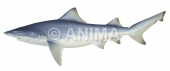 Northern River Shark Glyphis garricki