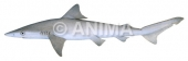 Smalltail Shark Carcharhinus porosus