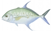 Thicklip Trevally1 Carangoides othogrammus