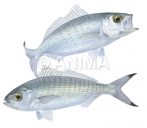 Australian Herrings3 Arripis georgianus
