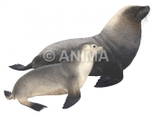 Sea Lion,Australian Neophoca cinerea