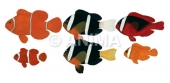 Anemonefish,male&female colours ANIMA
