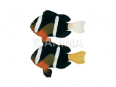 Anemonefish,Clark's,male&female Amphiprion clarkii