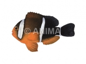 Anemonefish,Threeband Amphiprion tricinctus