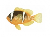 Anemonefish,Twoband Amphiprion bicinctus