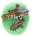 Poissons chat/Catfish,American Ariidae